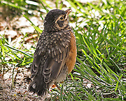 Baby Robins, just after leaving the nest, are one of the cutest things in nature. They seem to want to display an air of confidence....but their absolute lack of anything resembling a tail makes it fairly hard to pull off the ruse. At this stage, they're still wholly reliant on their parents for sustenance.