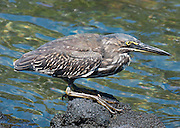 "Juvenile Striated Heron (Butorides striata) at Punta (Point) Espinoza, on Fernandina (Narborough) Island, Galápagos Islands, a province of Ecuador, South America. Also known as Mangrove Heron or Little Heron, the Striated Heron breeds in small wetlands in the Old World tropics from west Africa to Japan and Australia, and in South America. This bird was long considered to be conspecific with the closely related North American species, the Green Heron, which is now usually separated as B. virescens, as well as the Lava Heron of the Galápagos Islands (now B. sundevalli, but often included in B. striata; collectively they were called ""green-backed herons"". Like other herons, they are traditionally placed in the order Ciconiiformes together with storks, but all these birds form a close-knit group with pelicans, and it is unresolved whether herons are not closer to these than to storks."