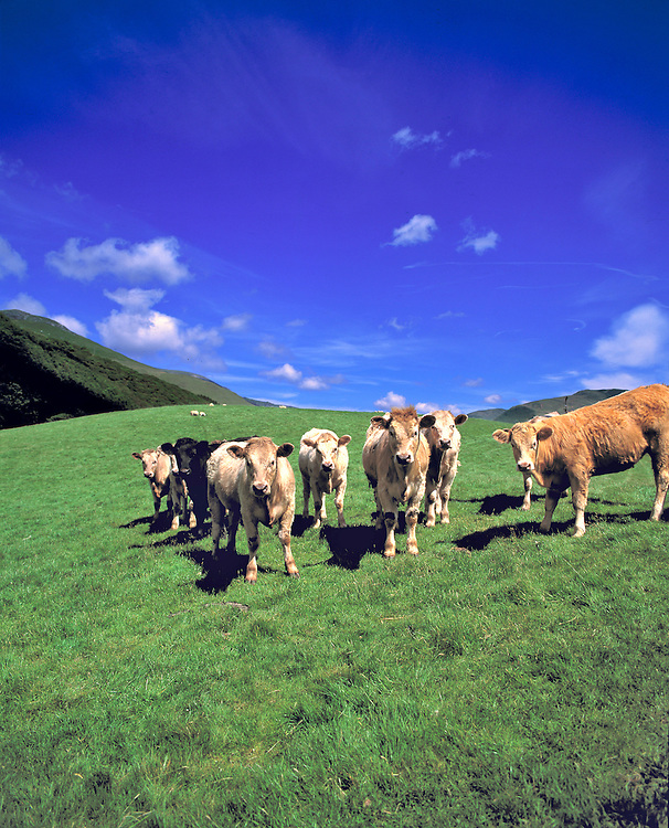 Cows graze in a pasture in the Dovey Valley, Gwynedd Co., Wales.