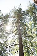 college green, Mapp Athens, summer, Tree Tour, Eastern White Pine