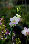 Orchid, Haiku Maui Orchids, Haiku, Upcountry, Maui, Hawaii
