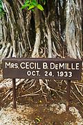 Celebrity planted banyan tree (Mrs. Cecil B. DeMille) on Banyan Drive, Hilo, The Big Island, Hawaii USA