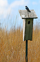 A tree swallow (Tachycineta bicolor) perched upon a wooden birdhouse in the prairie at Brenton Arboretum, Iowa