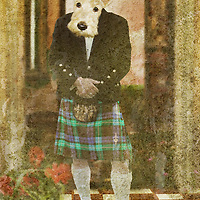 scottie dog wearing a kilt looking at the camera