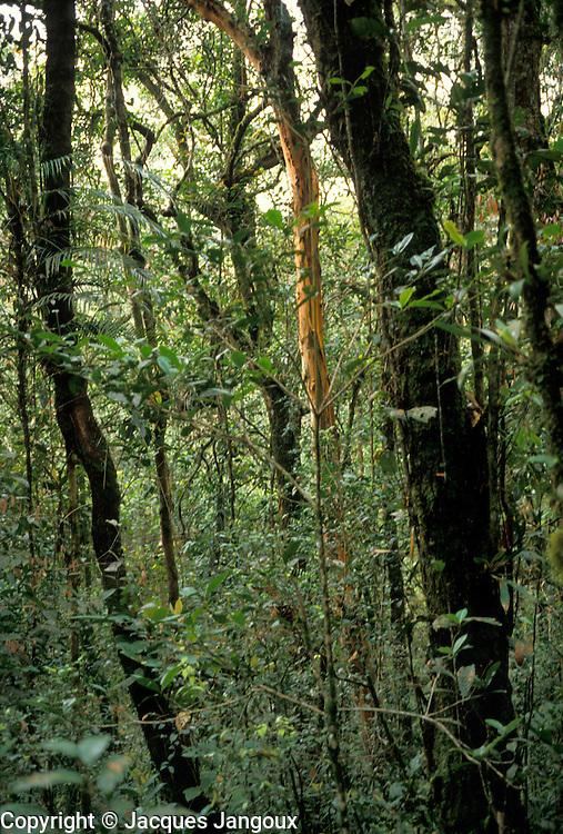 Lower montane rain forest in Kinabalu National Park, Malaysia, Borneo, Sabah.
