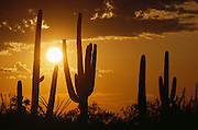 Arizona sunrise with saguaro cacti (Carnegiea gigantea) near Tucson, Arizona, USA.