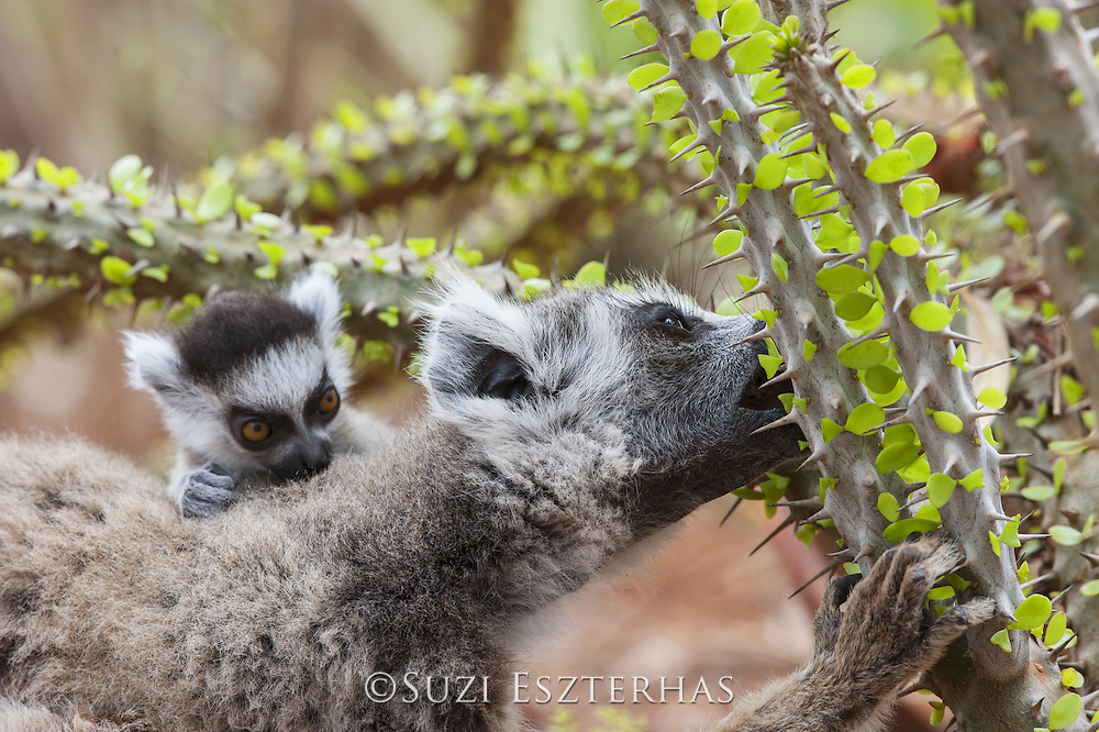 Ring-tailed Lemur<br /> Lemur catta<br /> Mother with 1-2 week old baby feeding on spiny forest tree (Alluaudia procera)<br /> Berenty Private Reserve, Madagascar