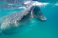 Whale Shark (Rhincodon typus) feeding in the plankton rich waters around Holbox Island, Mexico.