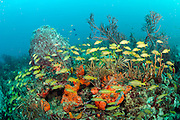 Tropical reef fish gather on the Breakers Coral Reef offshore Palm Beach, Florida, United States. Image available as a premium quality aluminum print ready to hang.