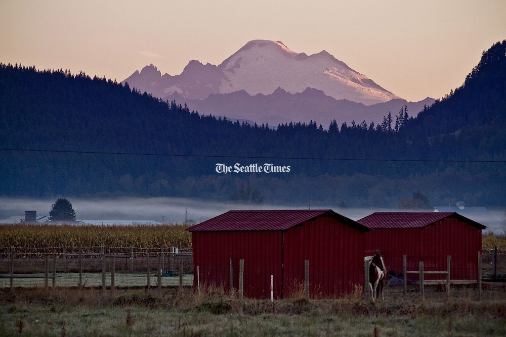 Sunrise light glances over Mount Baker as fog settles in the farms of Mount Vernon, Skagit County, as seen from Cedardale Road at dawn. (Bettina Hansen / The Seattle Times)