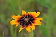 Black-Eyed Susan (Rudbeckia sp)<br /> Temagami<br /> Ontario<br /> Canada