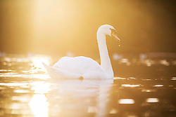 © Licensed to London News Pictures. 08/11/2017. Leeds UK. A swan drinks from the lake at Golden Acre park in Leeds at sunrise this morning. Photo credit: Andrew McCaren/LNP