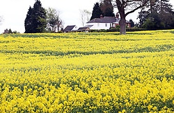 A field of rape near the village of Sandhurst, Kent, Saturday, 4th May 2013 Photo by: Stephen Lock / i-Images