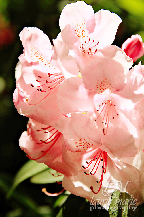 Pink rhododendron blossoms backlit by the sun