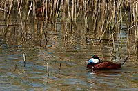 A male Ruddy Duck supporting its nesting season colors swims in its pond of choice protecting his territory against other males that are in the area wanting to mate with his female that is in the reeds on their nest.
