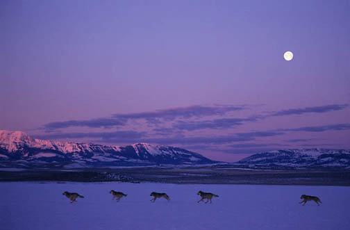 Gray Wolf, (Canis lupus) Pack running at dawn with moonrise over Crazy mountains. Montana.Winter. Captive Animal.