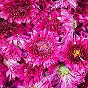 Detail of purple flowers at Jodpur flower market