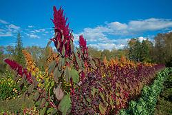 United States, Wasshiington, Carnation, field of flowers at farm