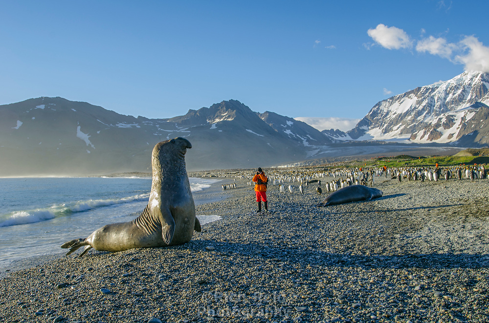 Southern elephant seal, Mirounga leonina at Saint Andrews Bay on South Georgia Island.