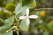Israel, Lemon tree blossoms flowering lemon tree April 2007