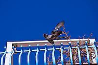 Un colobmbo che atterra sulla ringhiera di una casa nel borgo antico di Ostuni