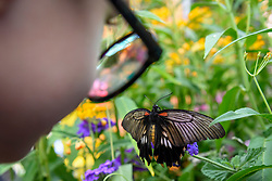 "© Licensed to London News Pictures. 05/09/2019. LONDON, UK. A visitor takes a butterfly at a ""Butterfly Biosphere"" in Grosvenor Square, Mayfair.  Setup by Bompas and Parr in association with King's College London and Butterfly Conservation, the aim is to make visitors more aware of the importance of pollinators and the ecosytem that the capital's 50 species of butterfly need to thrive.  The biosphere is open 5 to 15 September.  Photo credit: Stephen Chung/LNP"