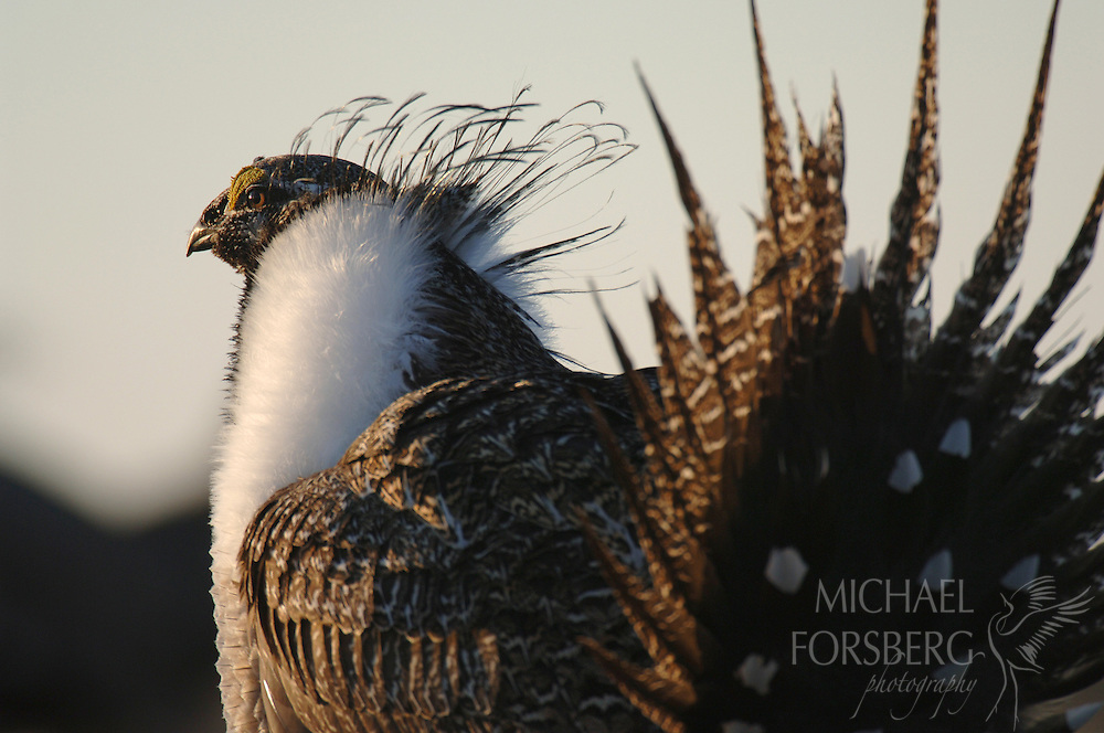A greater sage grouse displays his beauty and power for a potential mate.  Charles M. Russell National Wildlife Refuge, Montana.
