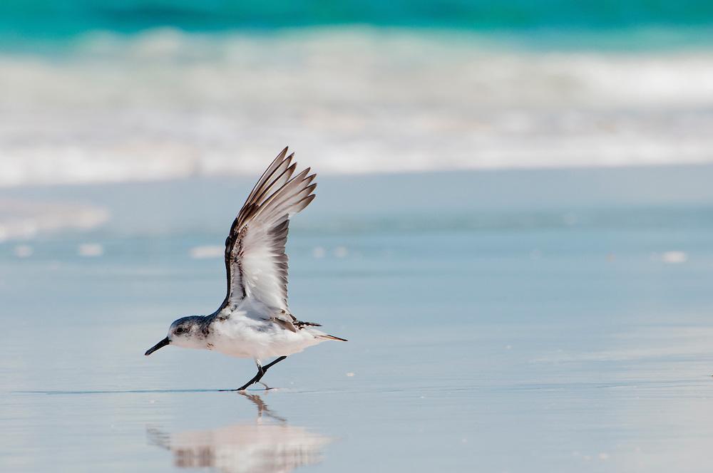 Plover bird on beach in the Bahamas