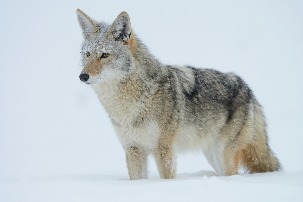 Coyote (Canis latrans) in Winter, North America