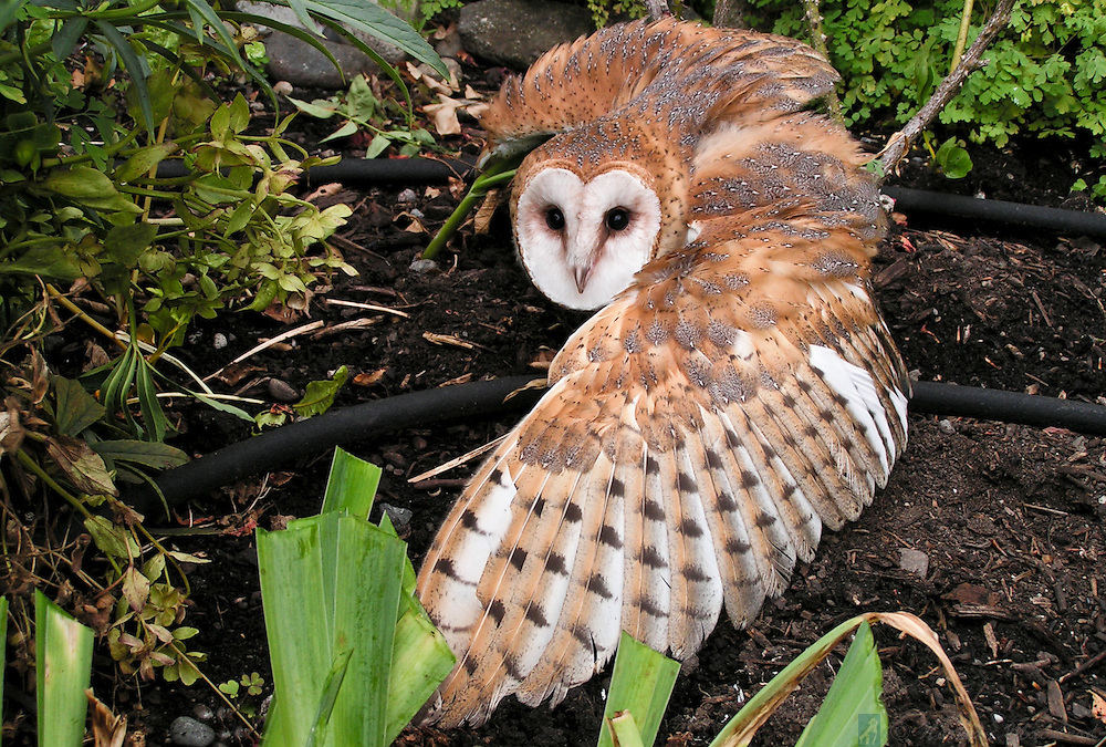 This barn owl was rescued from a garden in Port Townsend, where it was being harrased by crows.