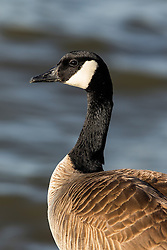 Canada Goose (Branta canadensis), Shoreline Park, Mountain View, California, United States of America
