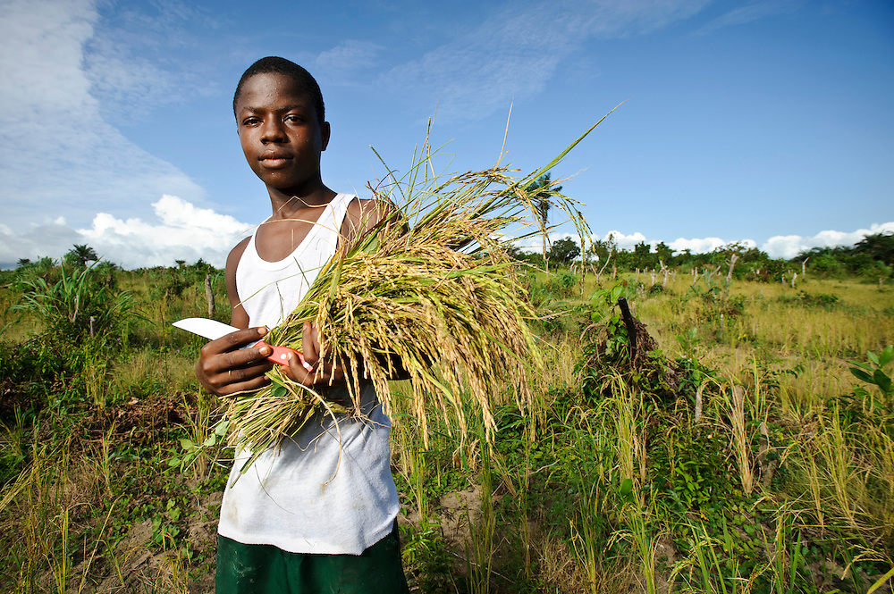 Teenager harvesting high-yield rice, Newton, Freetown, Sierra Leone. Planting Promise is an organization dedicated to the development of education in Sierra Leone. Its aim is to bring opportunities to initiate self-run, self-supporting projects that offer real solutions to the difficulties facing the world's poorest country. They believe real and lasting development comes from below, from local projects that address specific needs, rather than large international models. To this end, they currently run five projects that aim to bring wealth into the country through business. The profits from these businesses are then used to support free education for children and adults...Through the combination of business with social progress, the charity hopes that they are providing real, lasting and profound changes for the better, by promoting sustainable and beneficial industry in the country, and putting it to the service to the needs of the people. As well as providing the income to fund the school, the farms will also be an example of successful commercial enterprise to teach the children in the school the viability of profit-making schemes that go beyond subsistence models, the only things the children of these desperately poor areas are accustomed to. By learning particular details of the challenges that they will face, the children will emerge from this school equipped to contribute in a real way to their society.