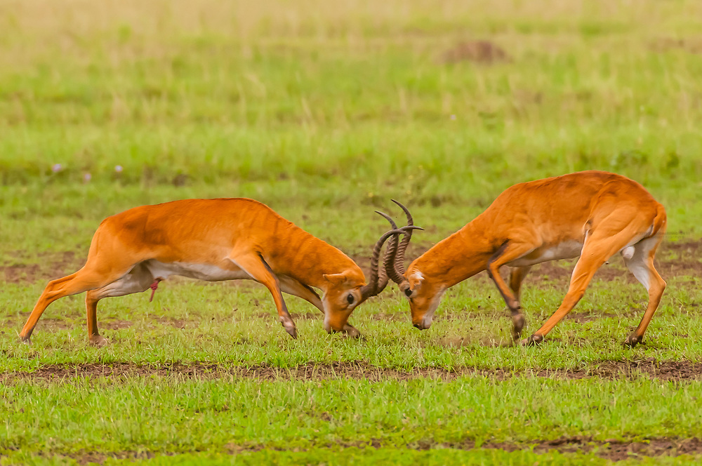 Male Ugandan Kobs sparring, Queen Elizabeth National Park, Uganda.