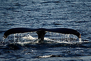 Whale watching is a favorite experience for tourists visiting the Cape. A whale tail pops out of the water during a whale watching excursion with Dolphin Fleet in Provincetown.  Sights and scenes from Cape Cod Bay, in Cape Cod, Massachusetts.