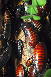 06 July 2008: Madagascar hissing cockroach