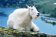 "A mountain goat appears to smile at Hidden Lake in Glacier National Park, Montana, USA. The mountain goat (Oreamnos americanus, or Rocky Mountain Goat) is a large-hoofed mammal found only in North America. It is an even-toed ungulate in the family Bovidae, in subfamily Caprinae (goat-antelopes), in the Oreamnos genus, but is NOT a true ""goat"" (or Capra genus). Since 1932, Canada and USA have shared Waterton-Glacier International Peace Park, which UNESCO declared a World Heritage Site (1995) containing two Biosphere Reserves (1976)."