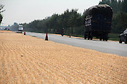 "BINZHOU, CHINA - SEPTEMBER 04: <br /> <br /> Vehicles run past the corn kernels aired on the No. 316 Provincial Highway on September 4, 2016 in Binzhou, Shandong Province of China. Farmers dried corn kernels in the air along the No. 316 Provincial Highway which looked like a ""golden road\"" in Binzhou.<br /> ©Exclusivepix Media"