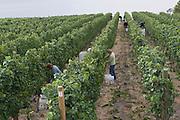 Harvest at Quail's Gate Winery, Okanagan, British Columbia, Canada