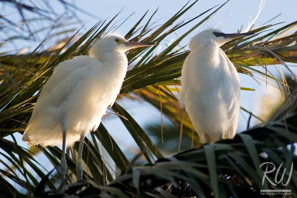 Snowy Egrets (Egretta thula) Cute Pose, Palo Alto Baylands Preserve, California