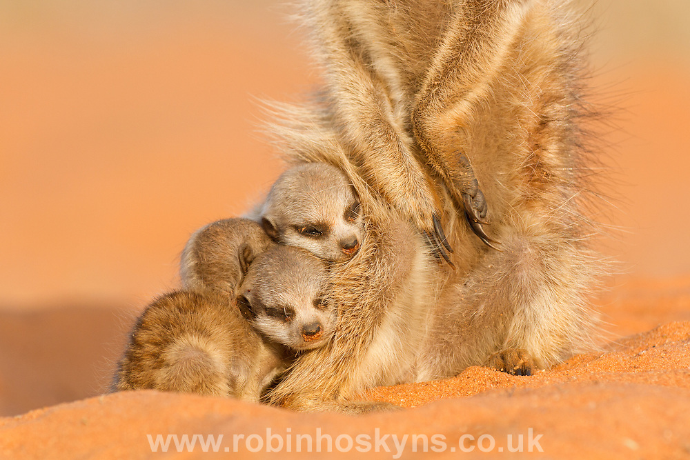 Three tired Meerkat pups on one of their first days after emerging from the burrow, watched over by the babysitter.