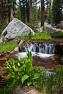 A stream cascades through a forest in the Ten Lakes region of Yosemite National Park
