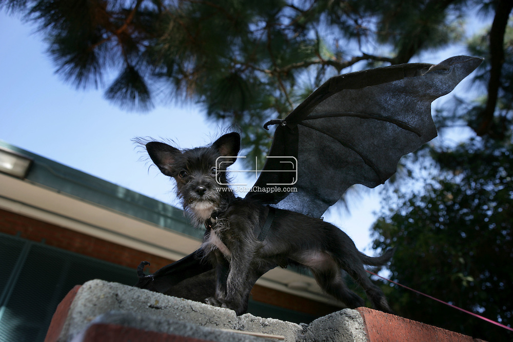 26th October 2008, West Hollywood, California. The annual West Hollywood Doggy Costume Contest, saw dog owners dressing their four-legged friends in costumes for Halloween Pictured is:  Inky the chihuahua cross in a bat outfit. PHOTO © JOHN CHAPPLE / REBEL IMAGES.john@chapple.biz    www.chapple.biz.(001) 310 570 9100.