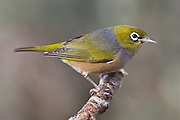 Silvereye, Southland, New Zealand