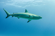 Caribbean Reef Shark (Carcharhinus perezi)<br /> Jardines de la Reina National Park<br /> CUBA<br /> DISTRIBUTION: Tropical western Atlantic Ocean, from North Carolina in the north to Brazil in the south, including Bermuda, the northern Gulf of Mexico, and the Caribbean Sea.