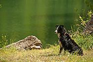 Male Australian Shepherd dog, tri color, PROPERTY RELEASED.