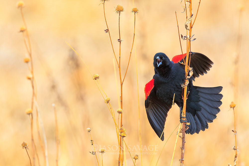 Red-winged Blackbird, Montana.