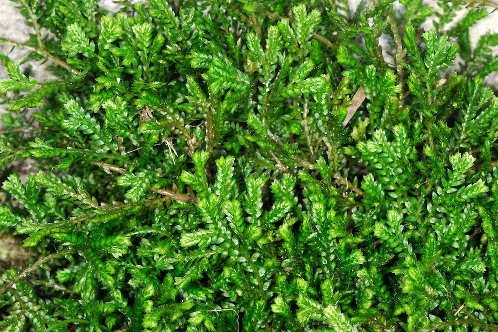 Mossy Clubmoss - Selaginella kraussiana