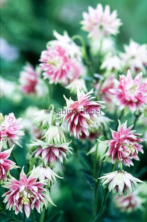 Aquilegia vulgaris var. stellata 'Nora Barlow' - columbine