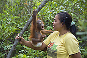 Bornean Orangutan<br /> Pongo pygmaeus<br /> Caretaker with infant playing in tree during forest exploration and training program <br /> Orangutan Care Center, Borneo, Indonesia<br /> *No model release available - for editorial use only