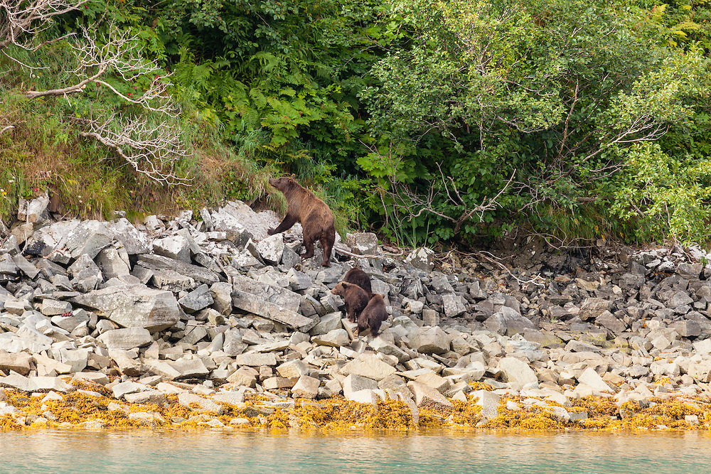 Sow brown bear (Ursus arctos) and cubs foraging for wild berries along Geographic Harbor in Katmai National Park in Southwestern Alaska. Summer. Morning.